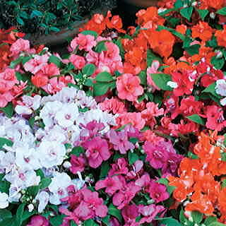 Athena Orange Flash Impatiens Flower Seeds
