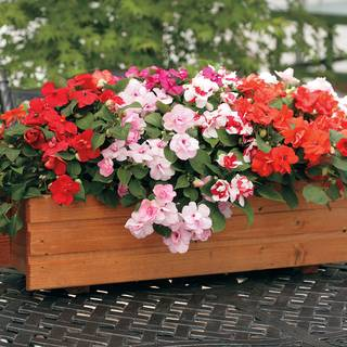 Athena Mix Impatiens Seeds