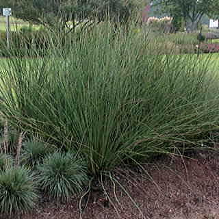 Javelin Juncus Seeds