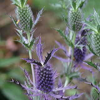 Leavenworth Eryngo Seeds