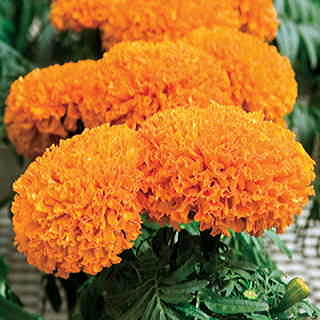 Moonsong Deep Orange Marigold Seeds