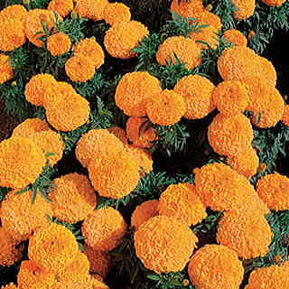 Moonstruck Orange Marigold Seeds