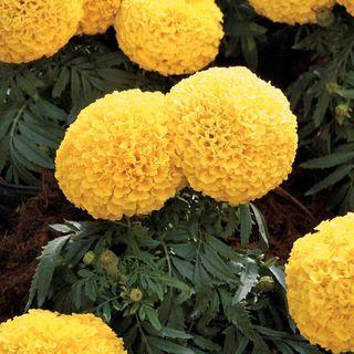 Moonstruck Yellow Marigold Seeds