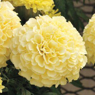 Vanilla Improved Marigold Seeds