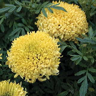 Mumsy Yellow Marigold Seeds