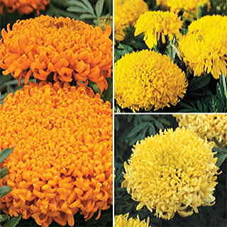 Mumsy Mix Marigold Seeds