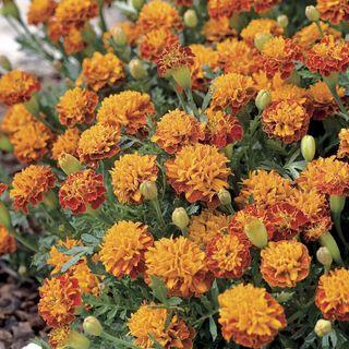 Mowgli Bicolor Marigold Seeds