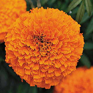 Garland Orange Marigold Seeds