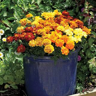 Alumia Mix Marigold Seeds