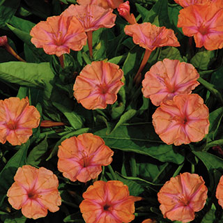 Salmon Sunset Four-OClock Flower Seeds