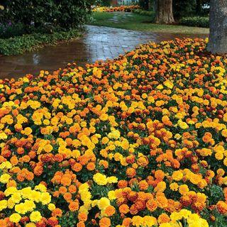 Hot Pak ™ Mixture Marigold Seeds
