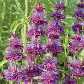 Bergamo Bee Balm Seeds