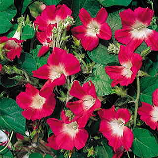 Split Personality Morning Glory Seeds