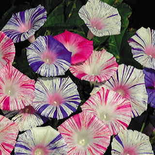Carnival™ Morning Glory Seeds