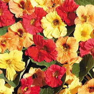 Hawaiian Mix™ Nasturtium Seeds