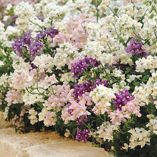 Poetry® Mix Nemesia Seeds