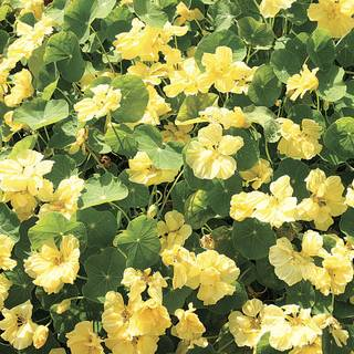 Double Delight Cream Nasturtium Seeds
