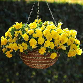 Cool Wave™ Yellow Pansy Seeds