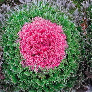 Glamour Red Ornamental Kale Seeds