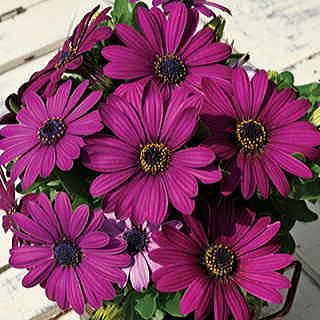 Asti™ Purple Osteospermum Flower Seeds