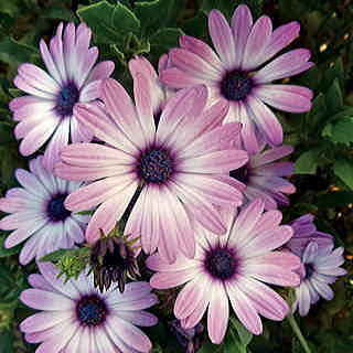 Asti™ Purple Bicolor Osteospermum Seeds
