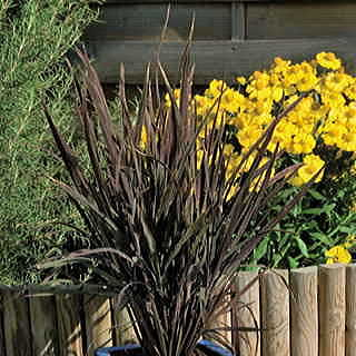 Black Madras Ornamental Rice Grass Seeds
