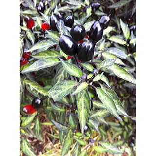 Black Olive Ornamental Pepper Seeds