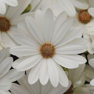 Akila® Daisy White Osteospermum Seeds