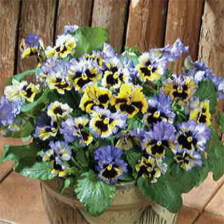 Flirty Skirts Blue Pansy Seeds