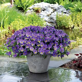 Cool Wave™ Blue Skies Pansy Seeds
