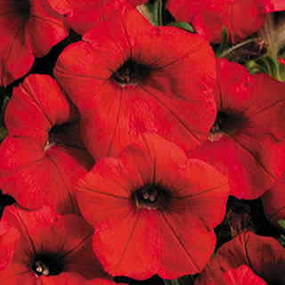 Shock Wave® Red Petunia Seeds