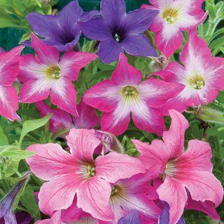Sparklers Petunia Seeds
