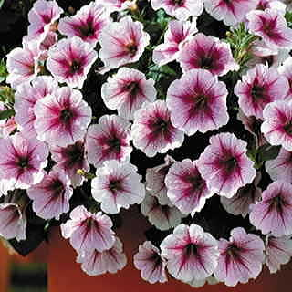 Opera Supreme Raspberry Ice Petunia Seeds