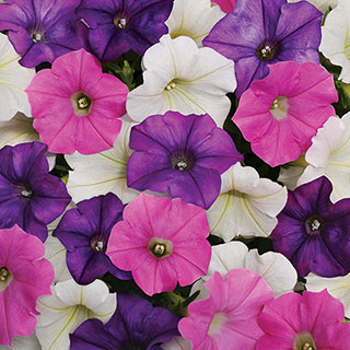 Shock Wave® Spark Mix Petunia Seeds