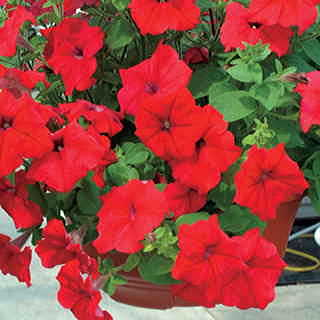 Parks Whopper Red Petunia Seeds
