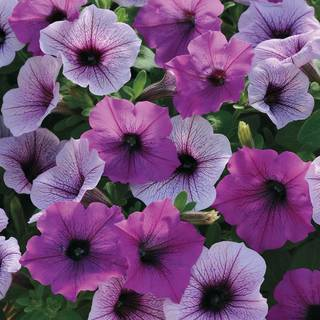 Easy Wave® Plum Pudding Mix Petunia Seeds