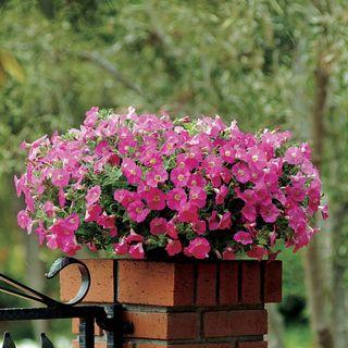 Shock Wave® Rose Petunia Seeds