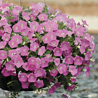 Shock Wave® Pink Shades Petunia Seeds