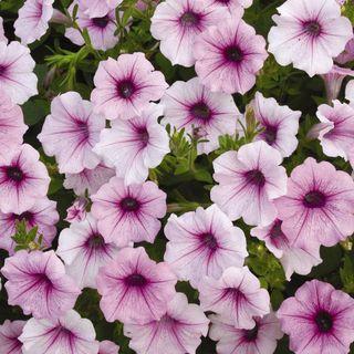 Shock Wave® Pink Vein Petunia Seeds
