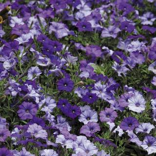 Shock Wave® Denim Shades Petunia Seeds
