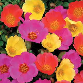 Toucan Hot Mix Purslane Flower Seeds