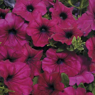 Wave® Purple Improved Petunia Seeds Image