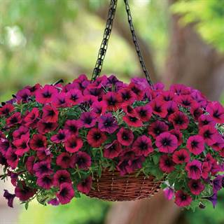 Shock wave deep purple petunia seeds for Petunie perenni
