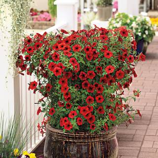 Tidal Wave® Red Velour Petunia Seeds Image