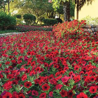 Tidal Wave® Red Velour Petunia Seeds