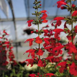 Summer Jewel™ Red Salvia Seeds Image