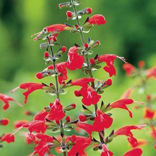 Summer Jewel Red Salvia Seeds