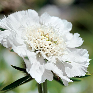 Fama White Pincushion Flower