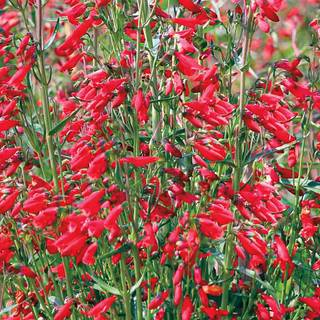 Twizzle Scarlet Penstemon Seeds