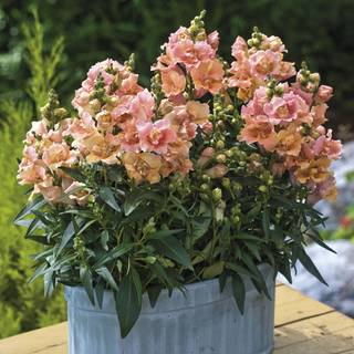 Twinny Peach Snapdragon Seeds